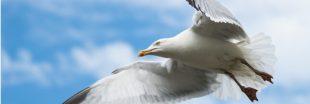 Dans la famille biodiversité ordinaire, protégeons le goéland argenté