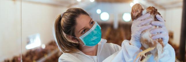 Grippe aviaire: le confinement de volailles décrété dans 45 départements