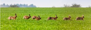 Dans la famille biodiversité ordinaire, protégeons le lièvre