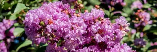 À la découverte du lilas des Indes: plantation, entretien et le reste!