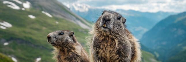 Des marmottes 'enterrées vivantes' sous une nouvelle piste de ski
