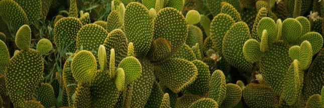 Entretien, culture: comment bichonner les cactus raquettes 'Opuntia'