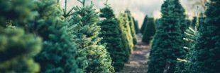 Les sapins de Noël sont-ils un 'produit essentiel' ?
