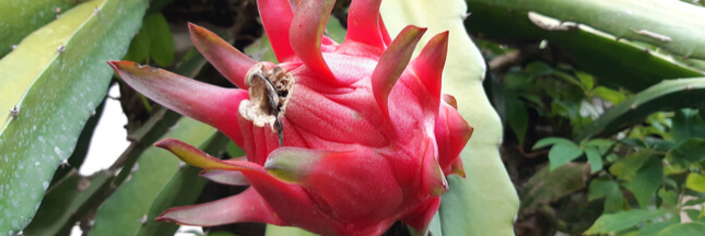 Entretien, culture: comment bichonner les cactus grimpants Selenicereus
