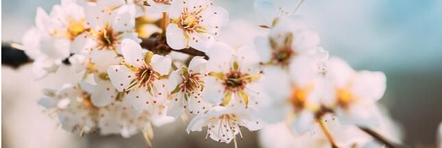 Tailler un cerisier: comment bien s'y prendre