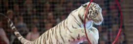 Zoo d'Amnéville: clap de fin pour Tiger World, le spectacle de tigres