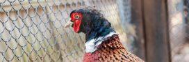 Faisans élevés pour la chasse: OneVoice s'indigne dans la Drôme