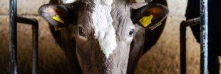 Clap de fin pour la ferme des '1000 vaches' dans la Somme