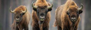 Liste Rouge UICN 2020 : 31 espèces éteintes, des dauphins en danger et un bison qui reprend du poil de la bête