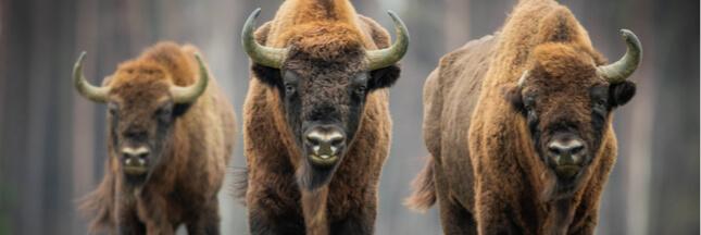 Liste Rouge UICN 2020: 31 espèces éteintes, des dauphins en danger et un bison qui reprend du poil de la bête