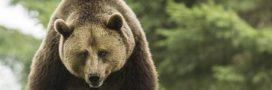 Une majorité de Français pour le remplacement des ours tués par les humains