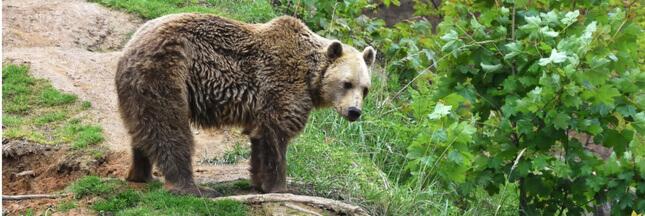 Plan ours: l'Europe appelle à de nouvelles réintroductions dans les Pyrénées