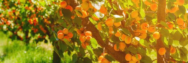 Taille de l'abricotier: tous les conseils pour bien s'y prendre