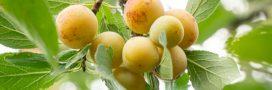 Ce qu'il faut savoir sur la taille du prunier