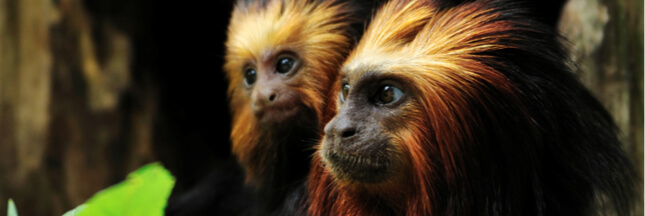 Inquiétude pour 15 singes d'une espèce rare volés en Ile-de-France