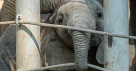 Maltraitance sur une éléphante de cirque: l'enquête est lancée