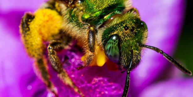 abeille halicte