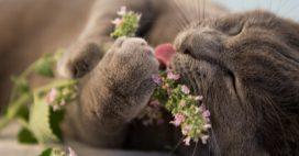 Pourquoi et comment utiliser l'herbe à chat