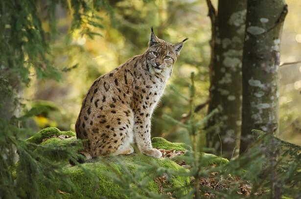 lynx chasseurs