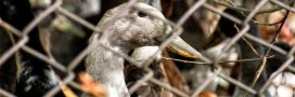 Grippe aviaire: 600.000 canards abattus – quelle leçon en tirer?
