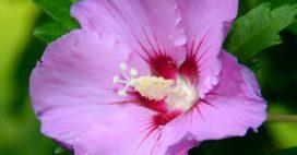 Tous les conseils pour réaliser la taille de l'hibiscus