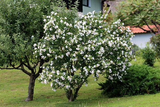 taille hibiscus