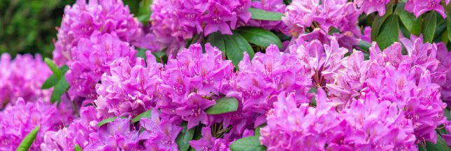 taille rhododendron