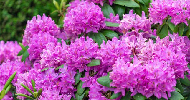 Tous les conseils pour savoir comment tailler le rhododendron