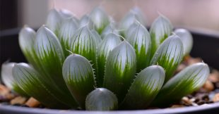 Haworthia - Des succulentes surprenantes et vivaces !