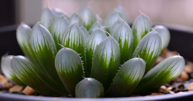 Haworthia – Des succulentes surprenantes et vivaces!