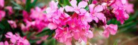 Tous les conseils pour maîtriser la taille du laurier rose