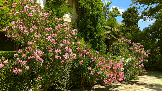 taille laurier rose