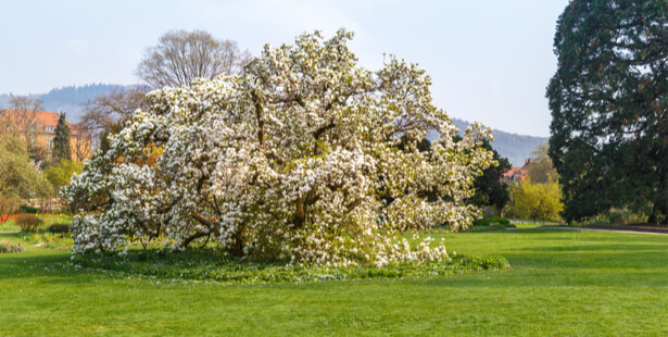 taille magnolia