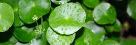 Centella asiatica, Gotu Kola ou herbe du tigre: une plante cicatrisante et régénérante