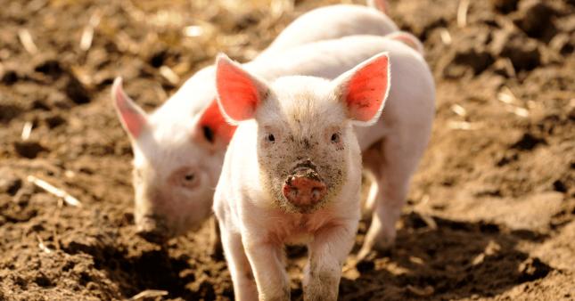 Enfin une étiquette 'bien-être animal' sur nos produits alimentaires!
