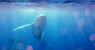 L'itinéraire compliqué et périlleux des baleines bleues pour éviter les navires