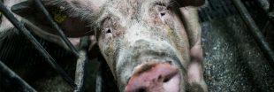 Élevage Herta : les services vétérinaires complaisants selon L214