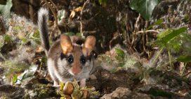 Dans la famille biodiversité ordinaire, protégeons le lérot