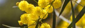 Faire pousser du mimosa en pot chez soi: une bonne idée!