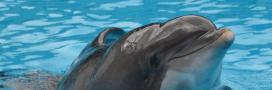 Parc Astérix: Femke, dauphin martyr de la captivité euthanasié