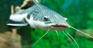 1 poisson d'eau douce sur 3 menacé d'extinction