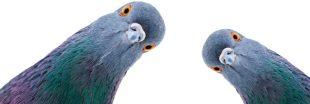 Quels sont les meilleurs répulsifs anti-pigeon ?