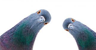 anti-pigeon