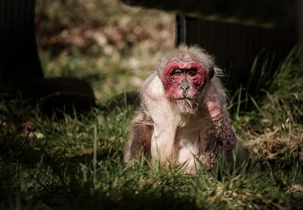 commerce de singes de labo