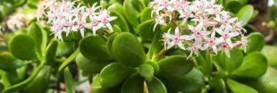 Crassula ovata - Tout savoir pour cette belle succulente !