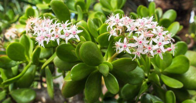 Crassula ovata – Tout savoir pour cette belle succulente!