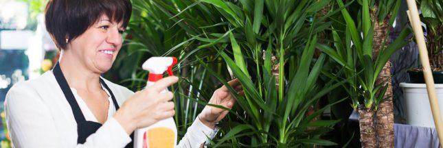 arrosage yucca
