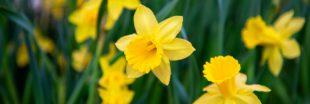 La jonquille nous annonce l'arrivée du printemps !