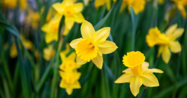 La jonquille nous annonce l'arrivée du printemps!