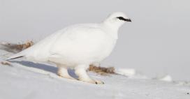 Dans la famille biodiversité ordinaire, protégeons le lagopède alpin